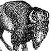 Angry-Bison